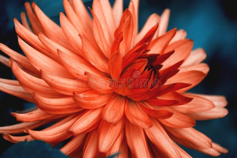 De bloem van de dahliacactus royalty-vrije stock fotografie