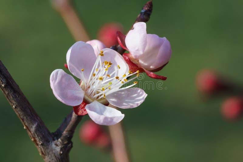 De bloem van de de lenteabrikoos lat lat Zie mijn andere werken in portefeuille stock fotografie