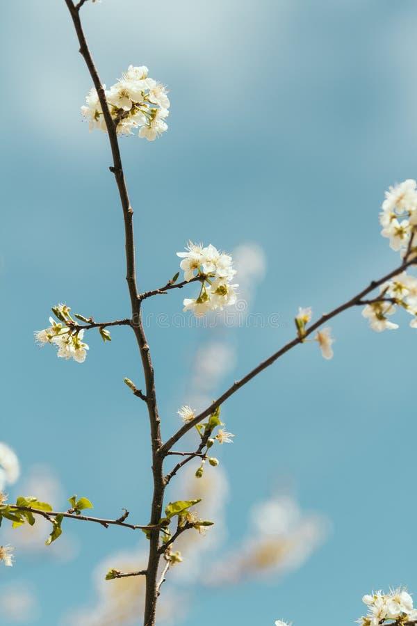 Download De Bloem Van De De Lenteboom En Blauwe Achtergrond Stock Foto - Afbeelding bestaande uit japans, kers: 39109768