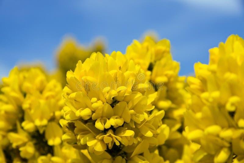 De bloem van de gaspeldoorn in bloei stock afbeeldingen