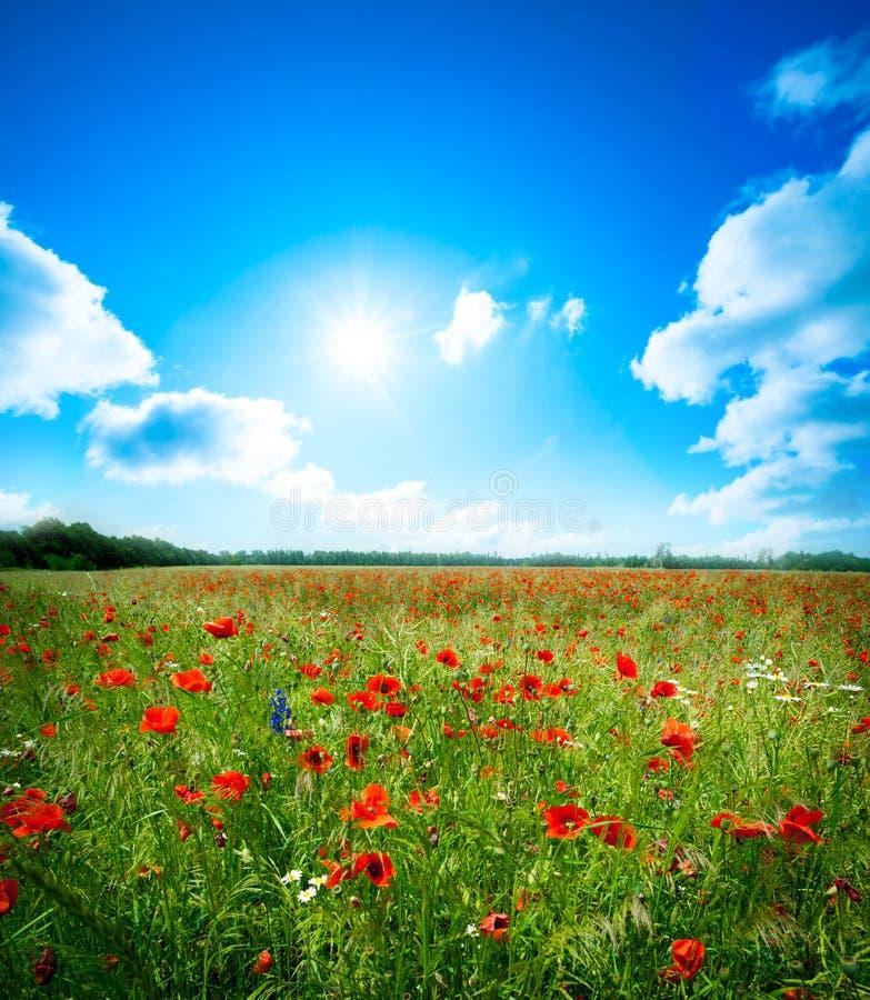 De bloem van de gebiedspapaver stock afbeeldingen