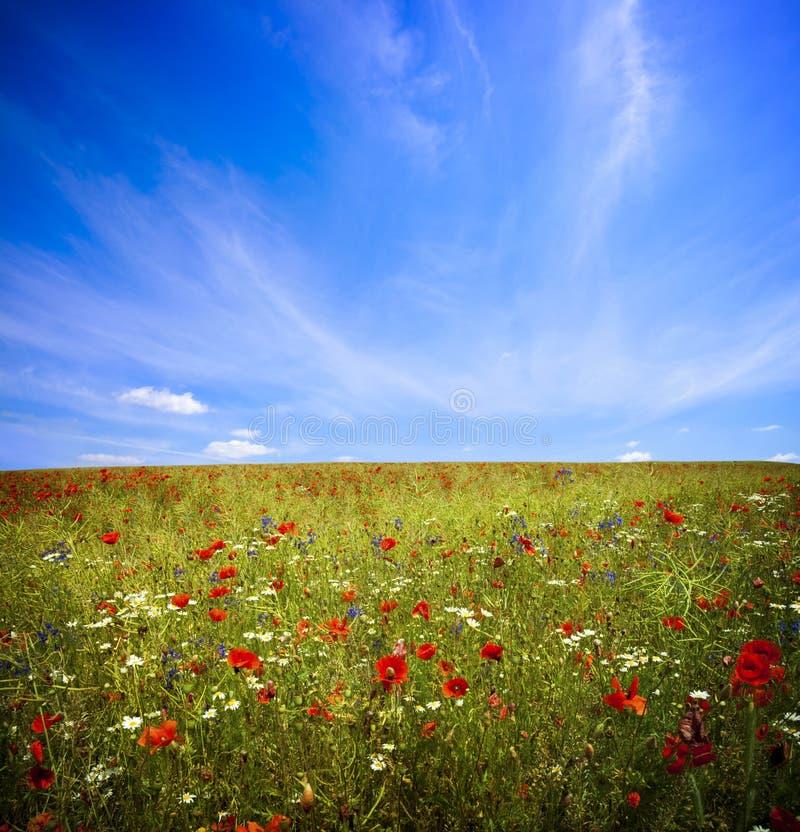 De bloem van de gebiedspapaver royalty-vrije stock fotografie