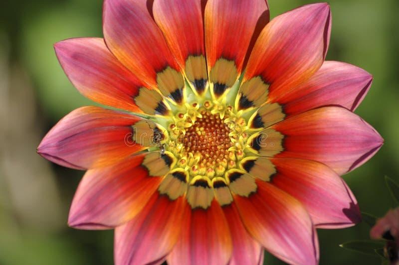De bloem van de hartstocht stock afbeelding