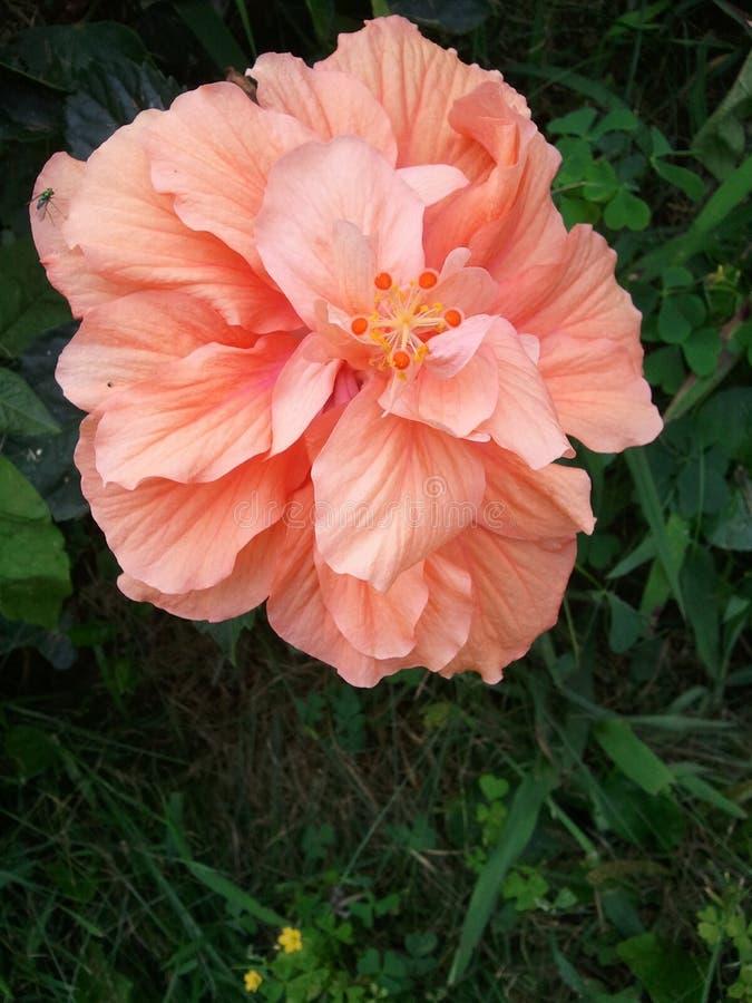 De bloem van de hibiscus stock afbeelding
