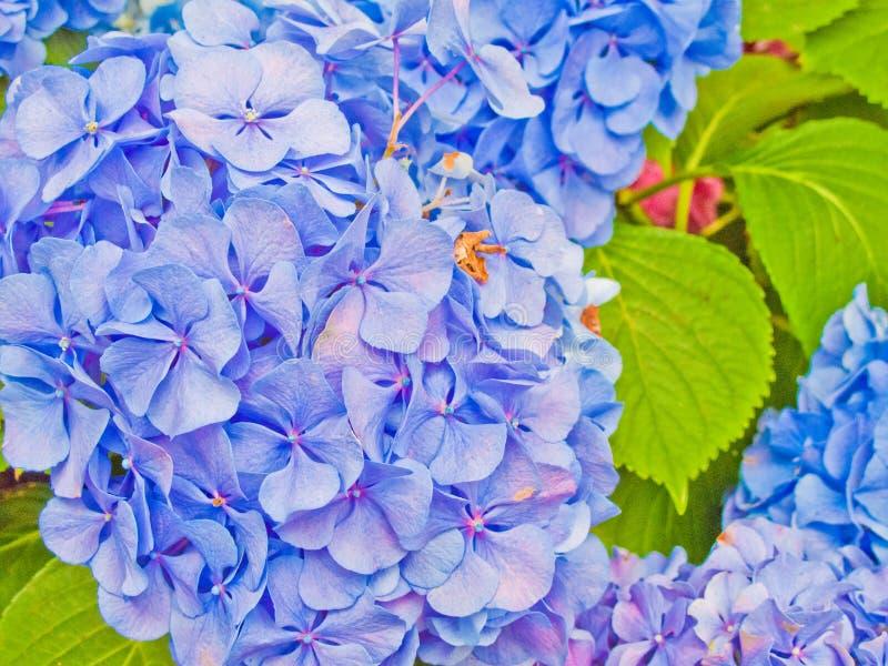 De bloem van de hydrangea hortensia royalty-vrije stock afbeeldingen