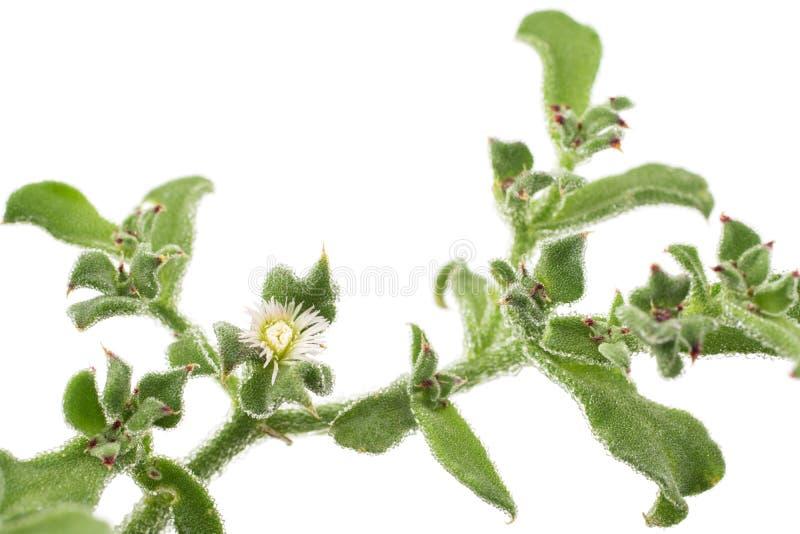 De bloem van de ijsinstallatie royalty-vrije stock afbeelding