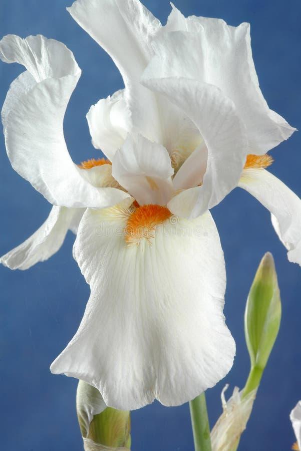 De Bloem van de iris stock afbeelding