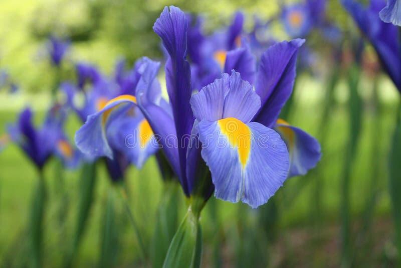 De Bloem van de iris stock foto's