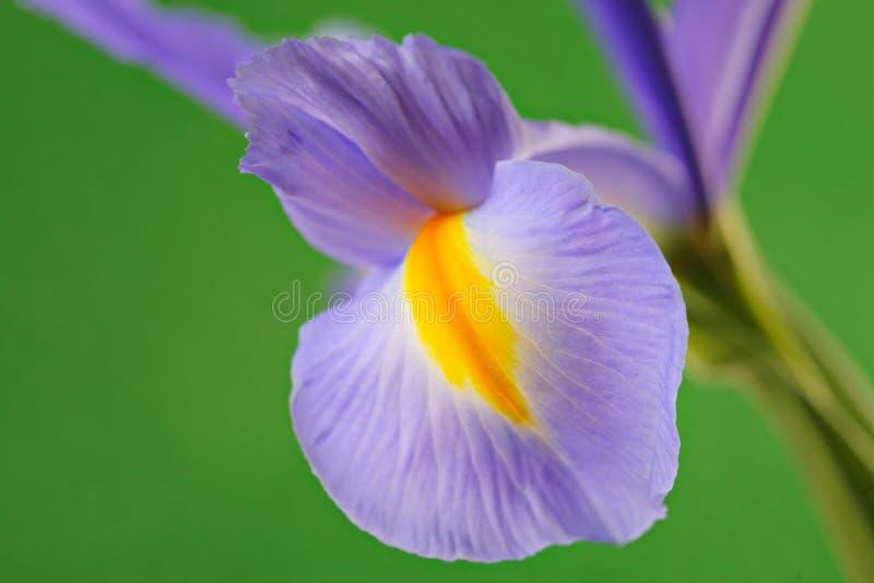 De bloem van de iris royalty-vrije stock foto's