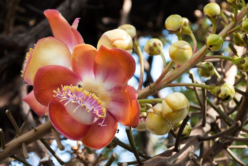 De bloem van de kanonskogelboom stock afbeeldingen
