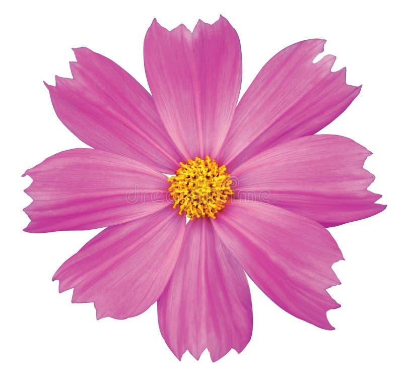 De bloem van de kosmos stock foto's