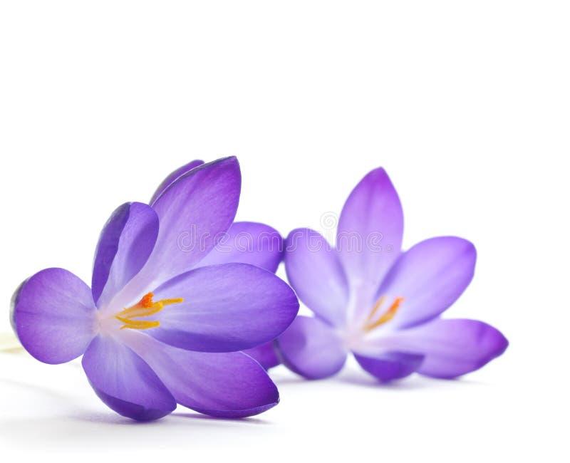 De bloem van de krokus