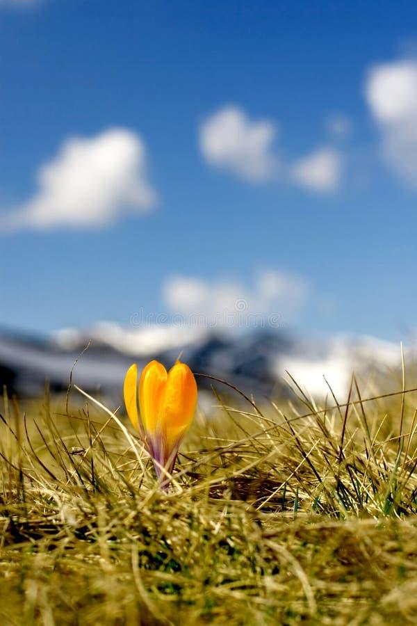 De bloem van de krokus royalty-vrije stock fotografie