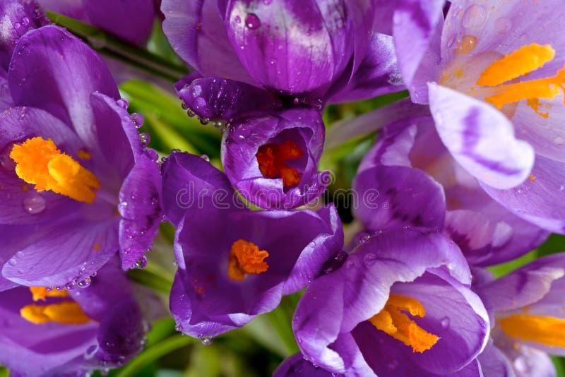 De bloem van de krokus royalty-vrije stock foto