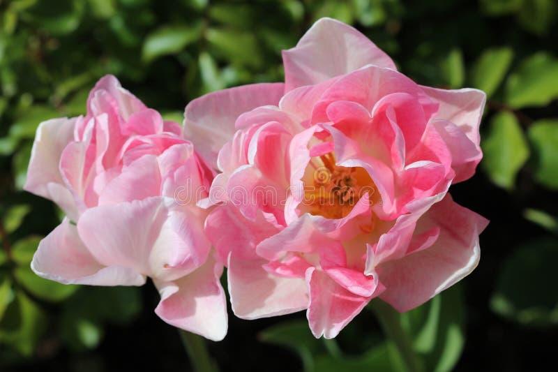 De bloem van de lente stock afbeelding