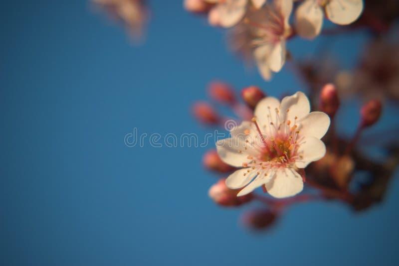 De bloem van de lente op een boom stock foto's