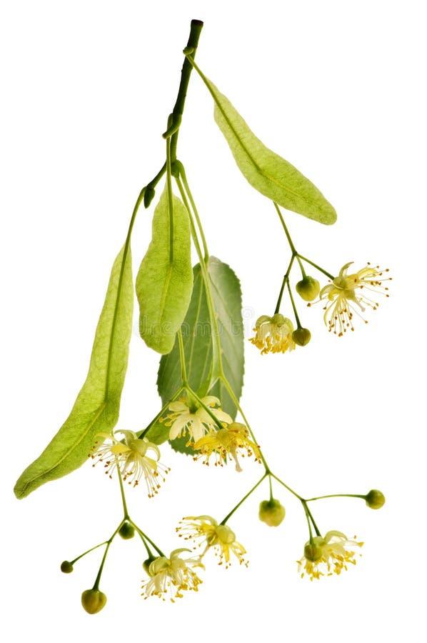 De bloem van de linde royalty-vrije stock afbeeldingen