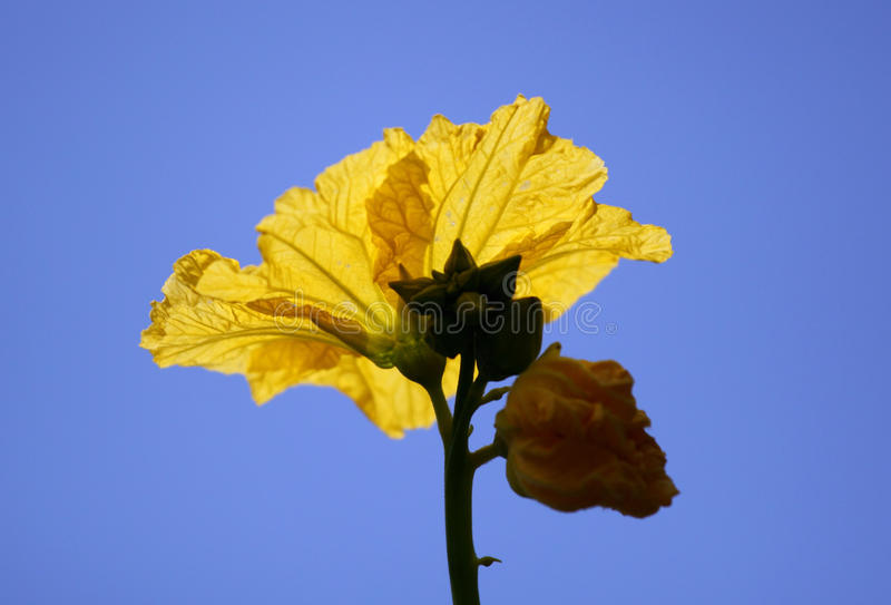 De bloem van de luffa royalty-vrije stock fotografie