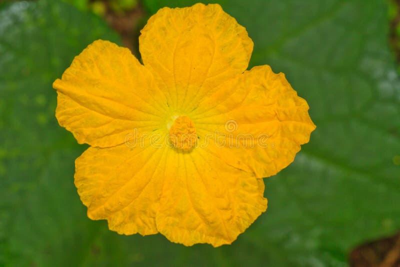 De bloem van de luffapompoen stock foto