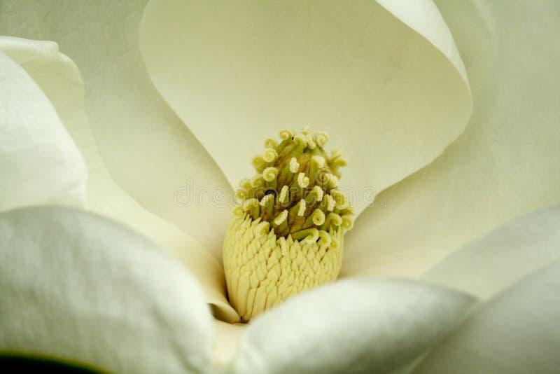 De bloem van de magnolia royalty-vrije stock afbeelding
