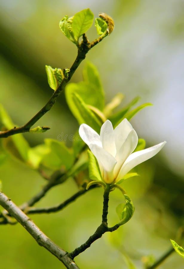 De bloem van de magnolia royalty-vrije stock foto
