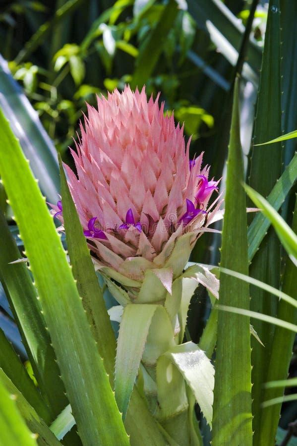 De bloem van de mooie ananas stock afbeelding