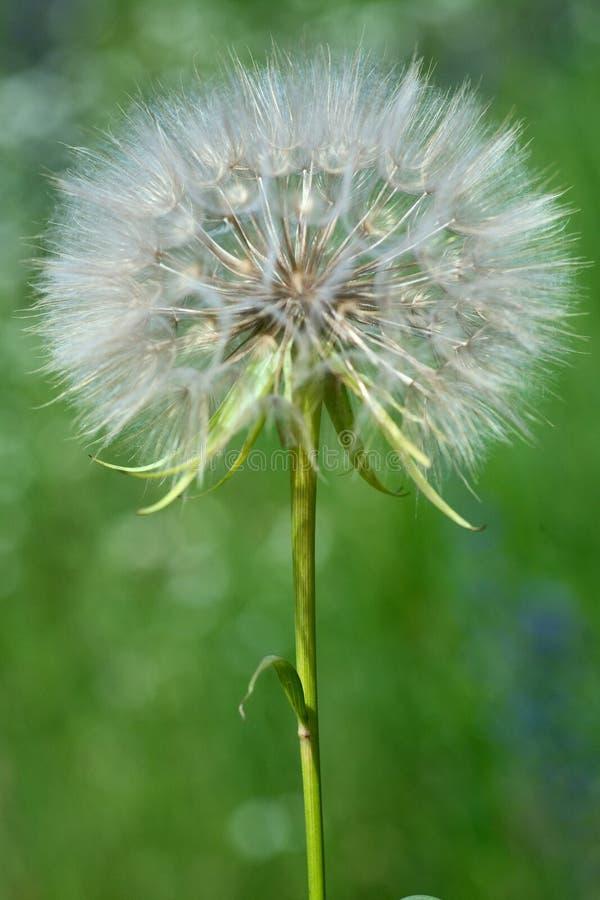 De bloem van de paardebloem stock fotografie