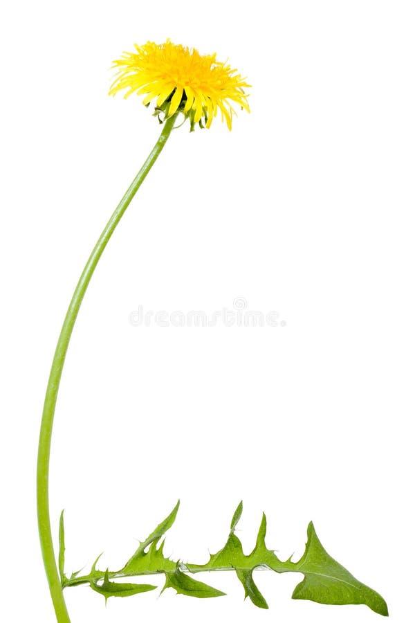 De bloem van de paardebloem met lange stam stock afbeelding