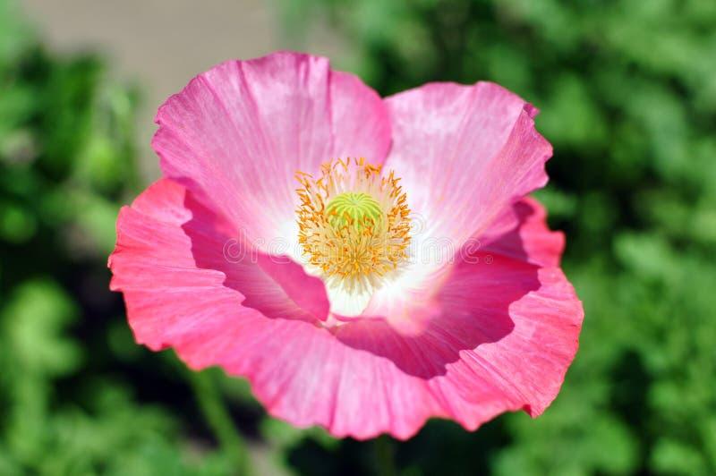 De bloem van de papaver stock fotografie