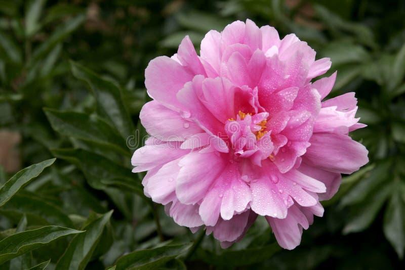 De bloem van de pioen in water royalty-vrije stock afbeelding