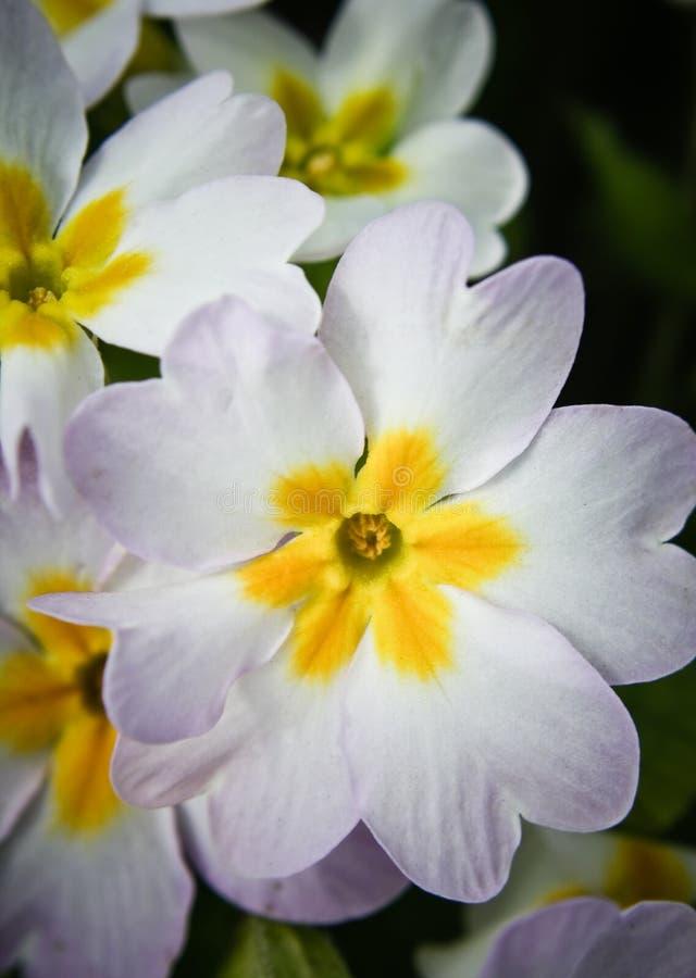 De bloem van de primula stock fotografie