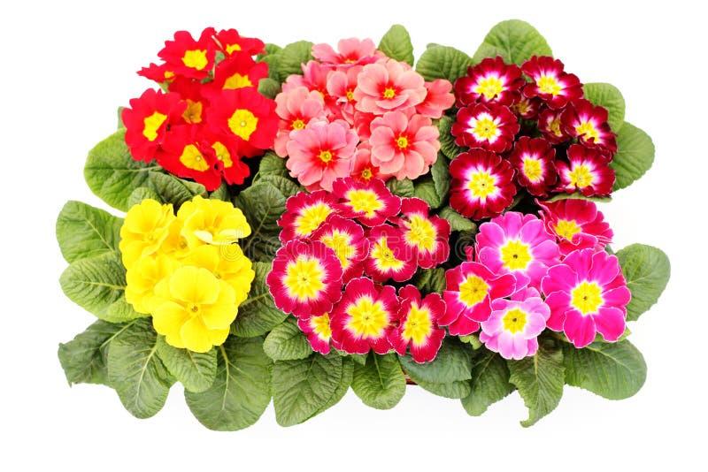 De bloem van de primula stock foto's