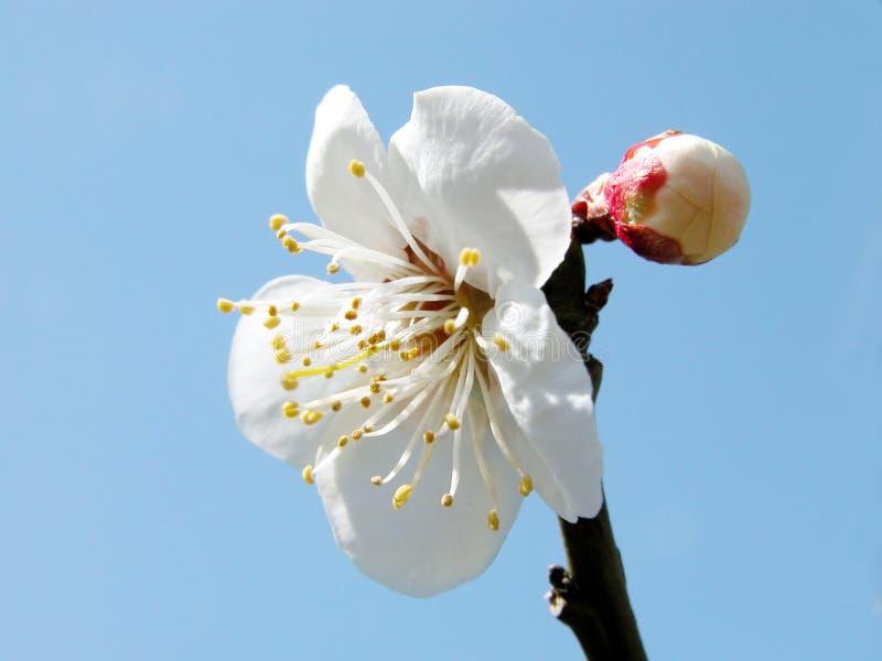 De bloem van de pruim royalty-vrije stock afbeelding