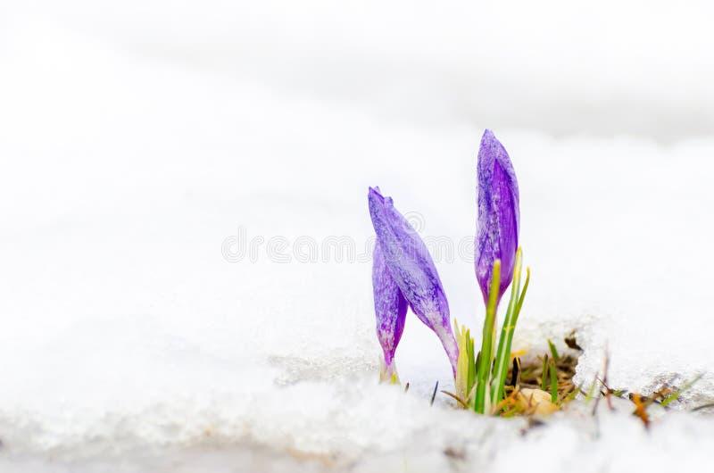 De bloem van de saffraankrokus op smeltende sneeuw stock foto