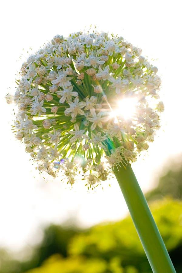 De bloem van de ui royalty-vrije stock afbeeldingen