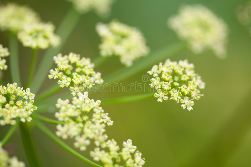 De bloem van de venkel op het gebied royalty-vrije stock foto's