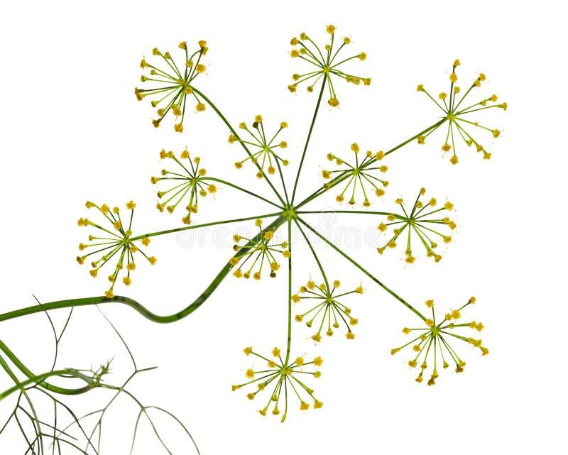De bloem van de venkeldille stock afbeelding
