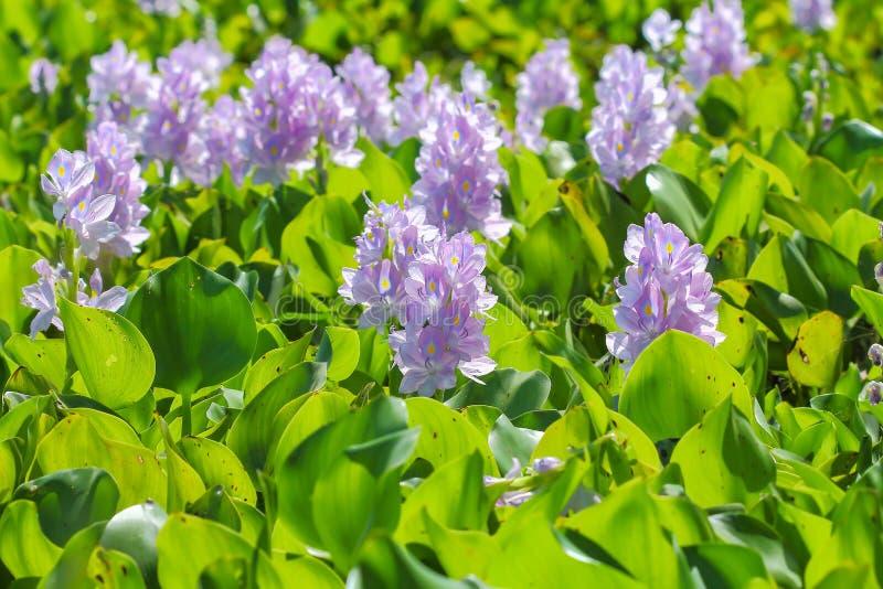De bloem van de waterhyacint in natuurlijke waterbronnen stock foto