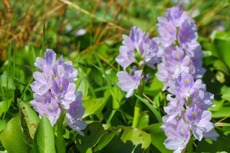 De bloem van de waterhyacint in natuurlijke waterbronnen stock afbeeldingen