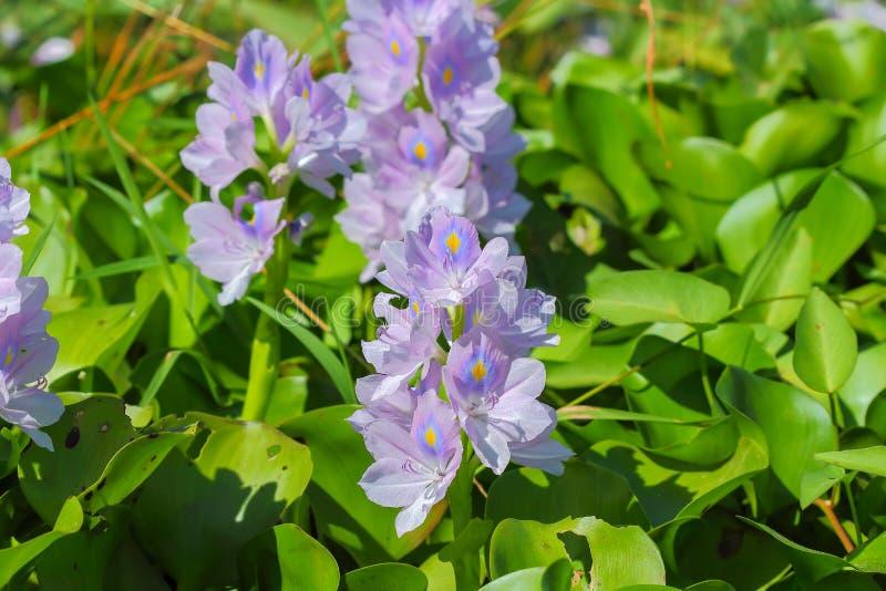 De bloem van de waterhyacint in natuurlijke waterbronnen royalty-vrije stock foto's
