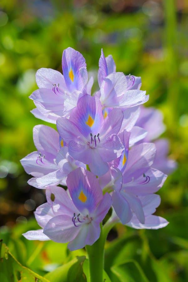 De bloem van de waterhyacint in natuurlijke waterbronnen royalty-vrije stock fotografie