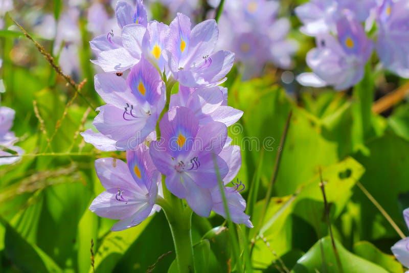 De bloem van de waterhyacint in natuurlijke waterbronnen stock foto's
