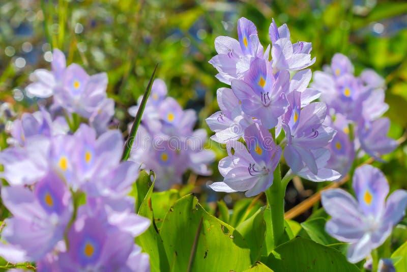 De bloem van de waterhyacint in natuurlijke waterbronnen stock fotografie