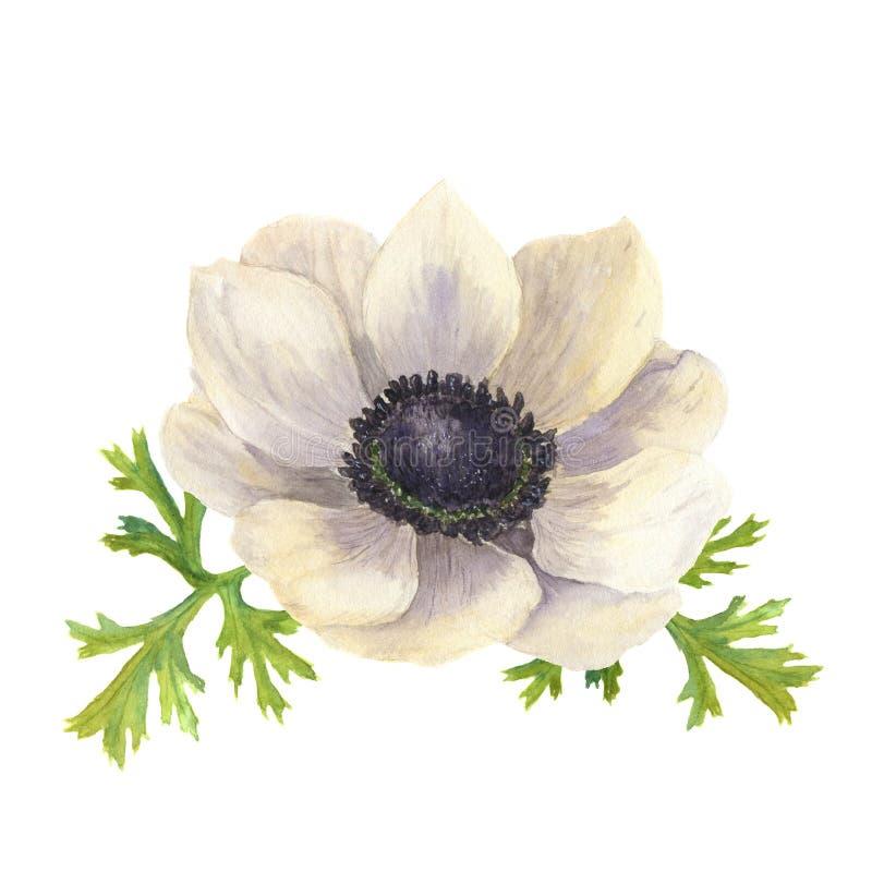 De bloem van de waterverfanemoon met bladeren Hand getrokken bloemenillustratie met witte achtergrond Botanische illustratie royalty-vrije illustratie