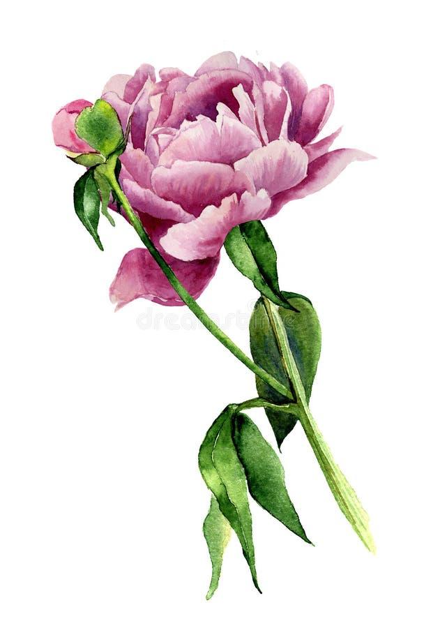 De bloem van de waterverfpioen Uitstekende bloemendieillustratie op witte achtergrond wordt geïsoleerd Hand getrokken botanische  royalty-vrije illustratie