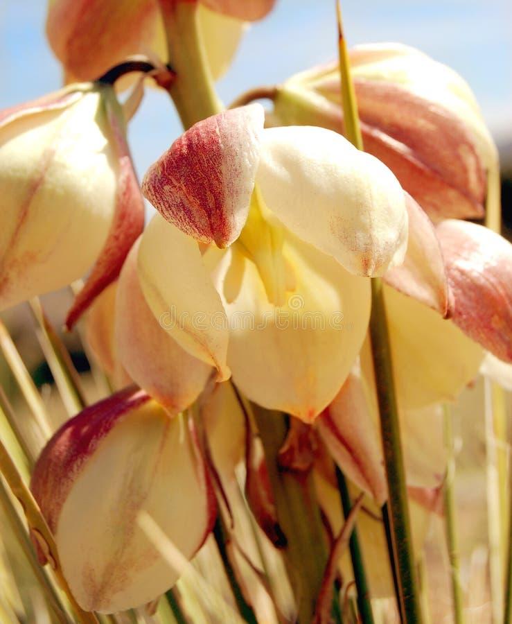De Bloem van de yucca stock afbeelding