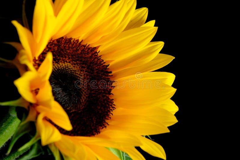 De Bloem van de zon stock foto