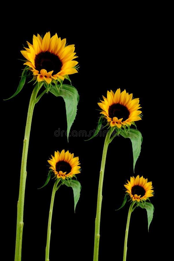 De Bloem van de zon stock fotografie