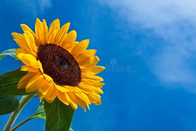 De bloem van de zon tegen een blauwe hemel royalty-vrije stock afbeelding
