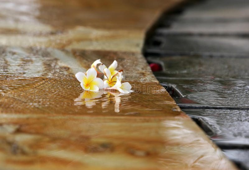 De bloem van Frangipani stock fotografie